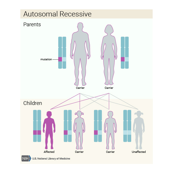 An autosomal recessive condition is inherited when both parents are carriers of genetic mutations (faults) in the same gene